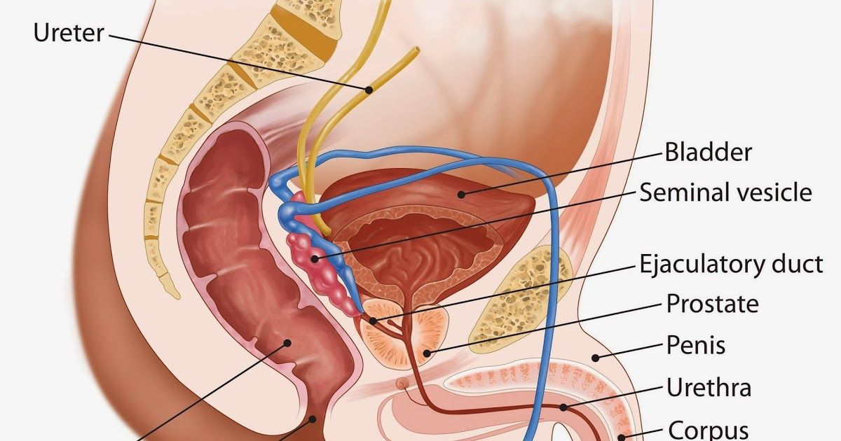 male-genital-and-rectal-anatomy